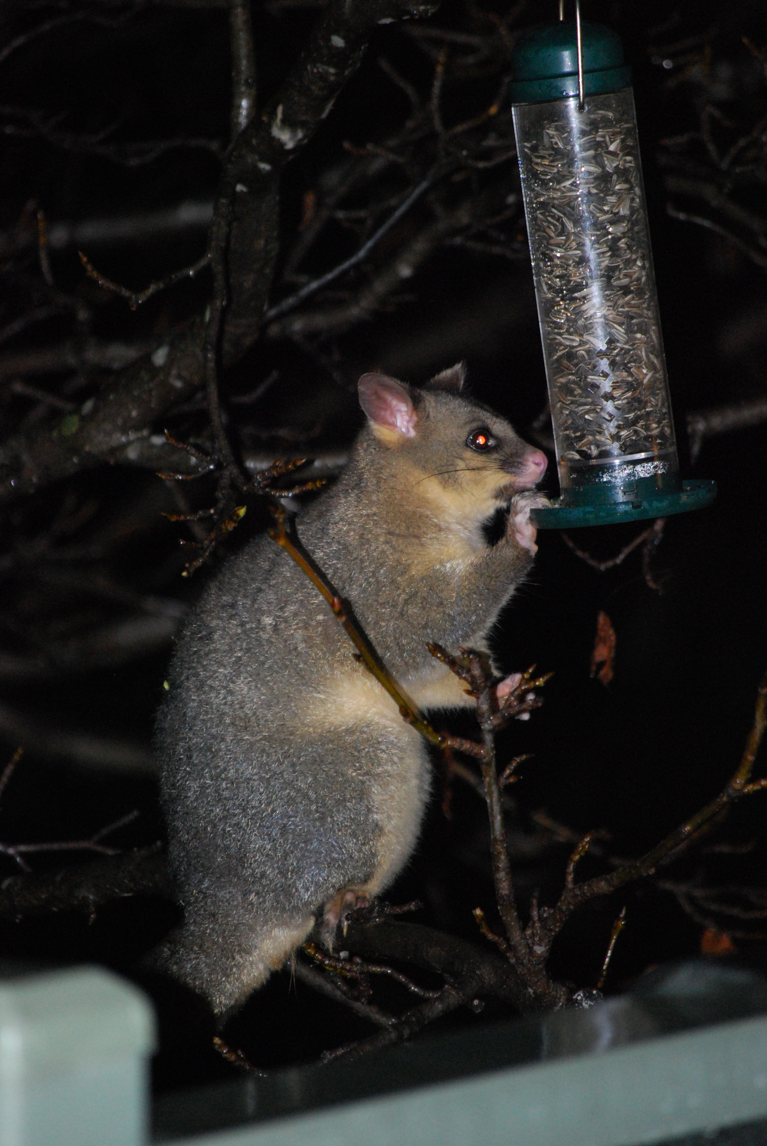 Image of Common Ring-tailed Possum