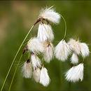 Image of tall cottongrass