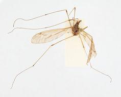 Image of <i>Ischnotoma</i> (<i>Icriomastax</i>) <i>jujuyensis</i> (Alexander 1920)