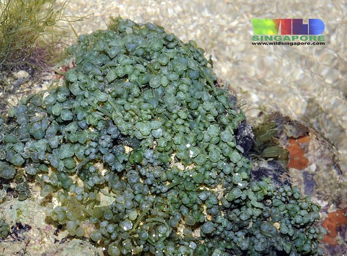 Image of <i>Caulerpa racemosa</i> var. <i>peltata</i>