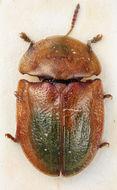 Image of <i><i>Cassida</i></i> (Cassida) <i>seladonia</i> Gyllenhal 1827