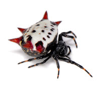 Image of Crab-like spiny orb weaver