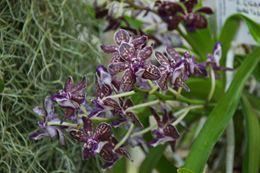 Image of Rhynchostylis gigantea × <i>Vanda tessellata</i>