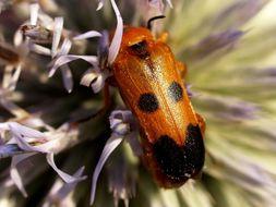 Image of <i>Nemognatha chrysomelina</i> (Fabricius 1775) Fabricius 1775