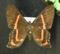 Image of <i>Ancyluris meliboeus</i> Fabricius 1776