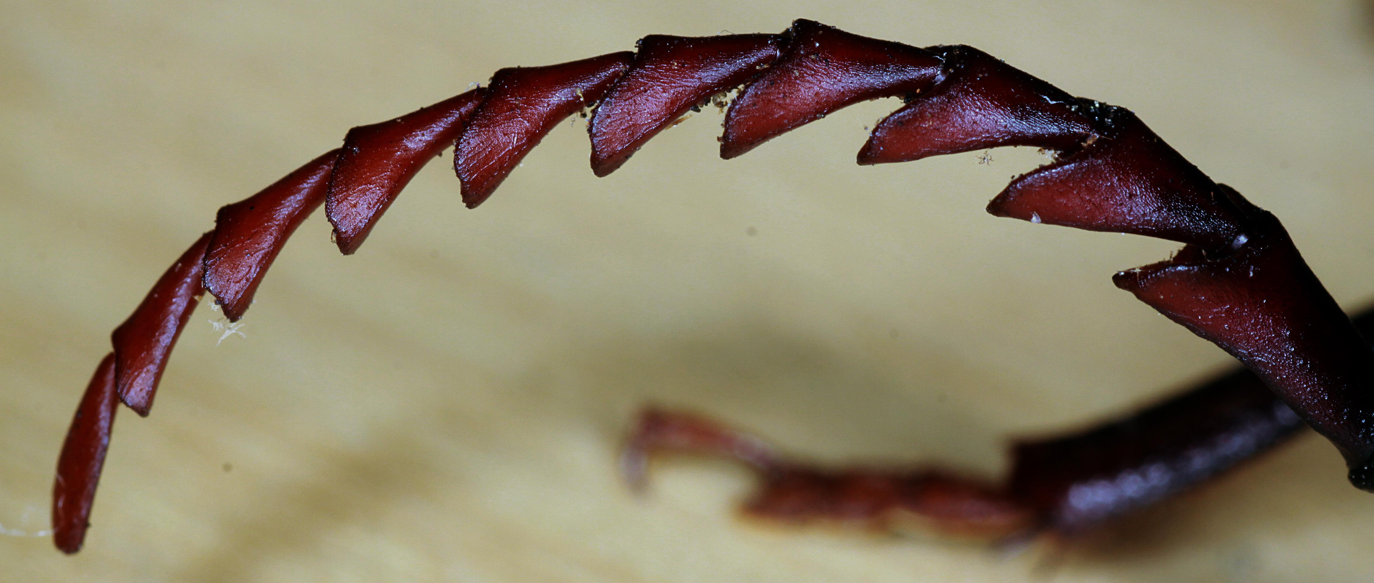 Image of California Root Borer