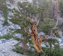 Image of Great Basin bristlecone pine