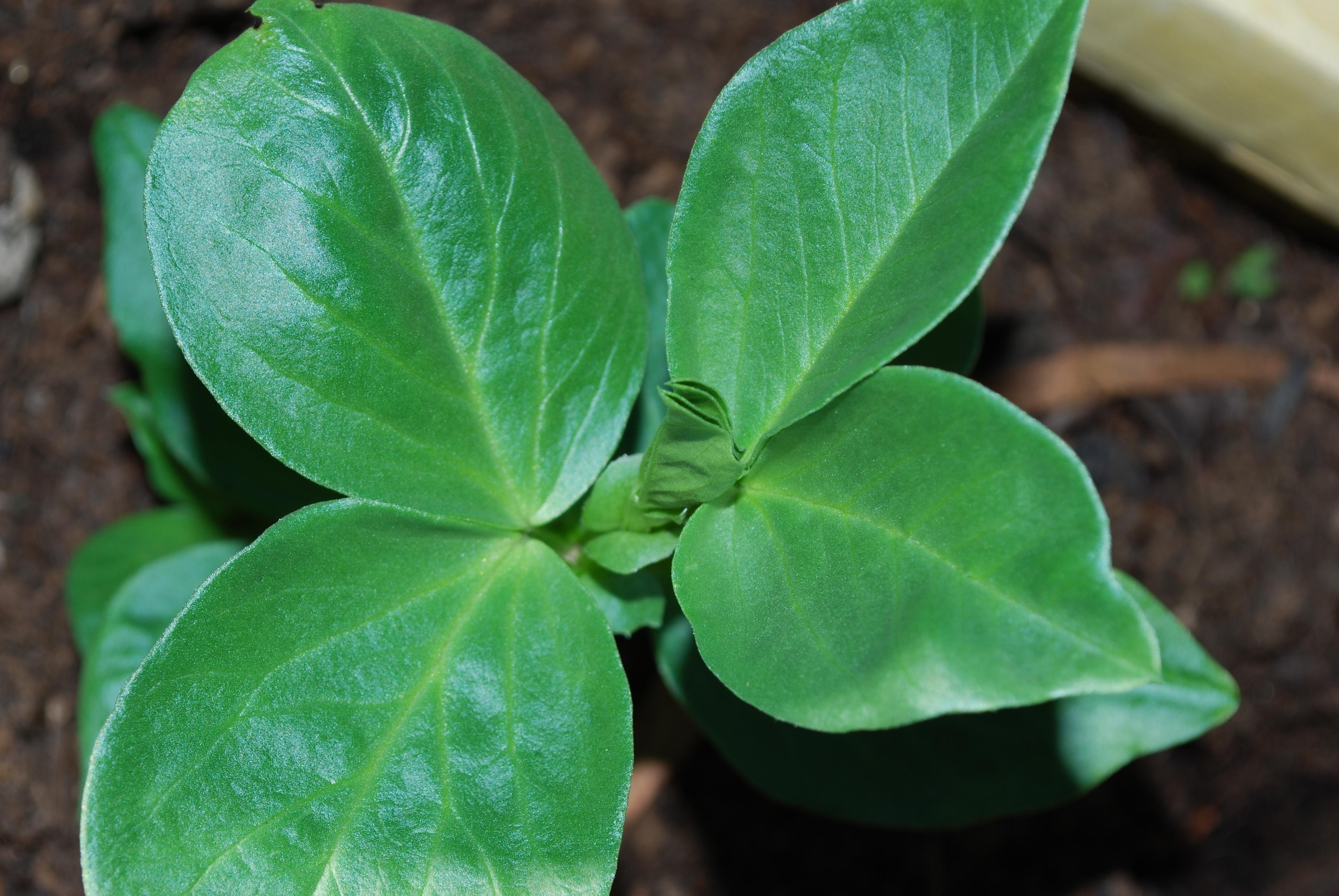 Image of Broad Bean