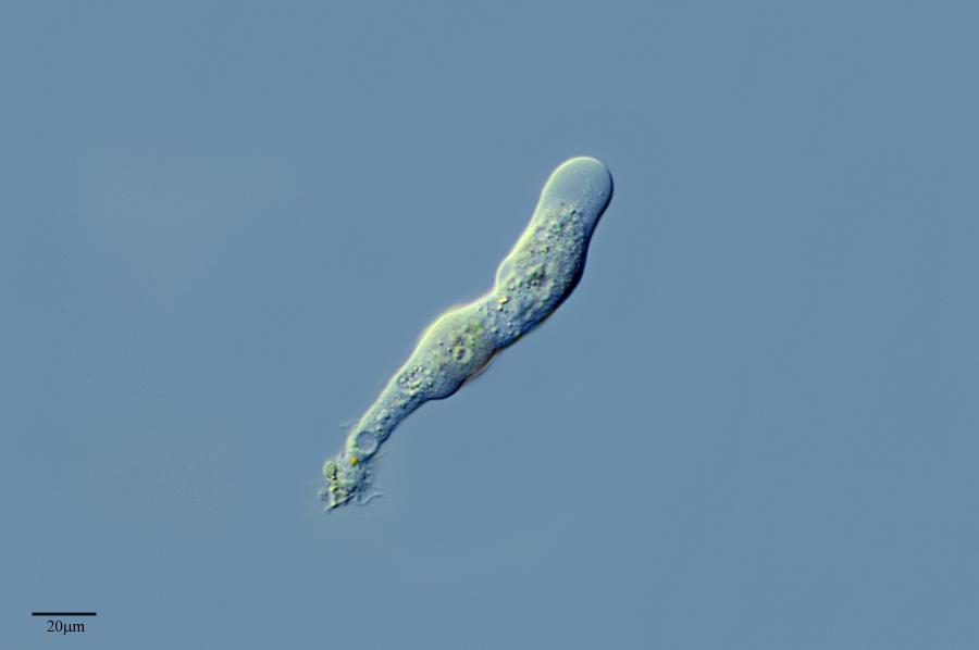 Image of <i>Saccamoeba clava</i>