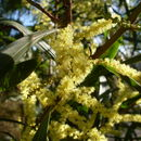 Image of Sydney golden wattle