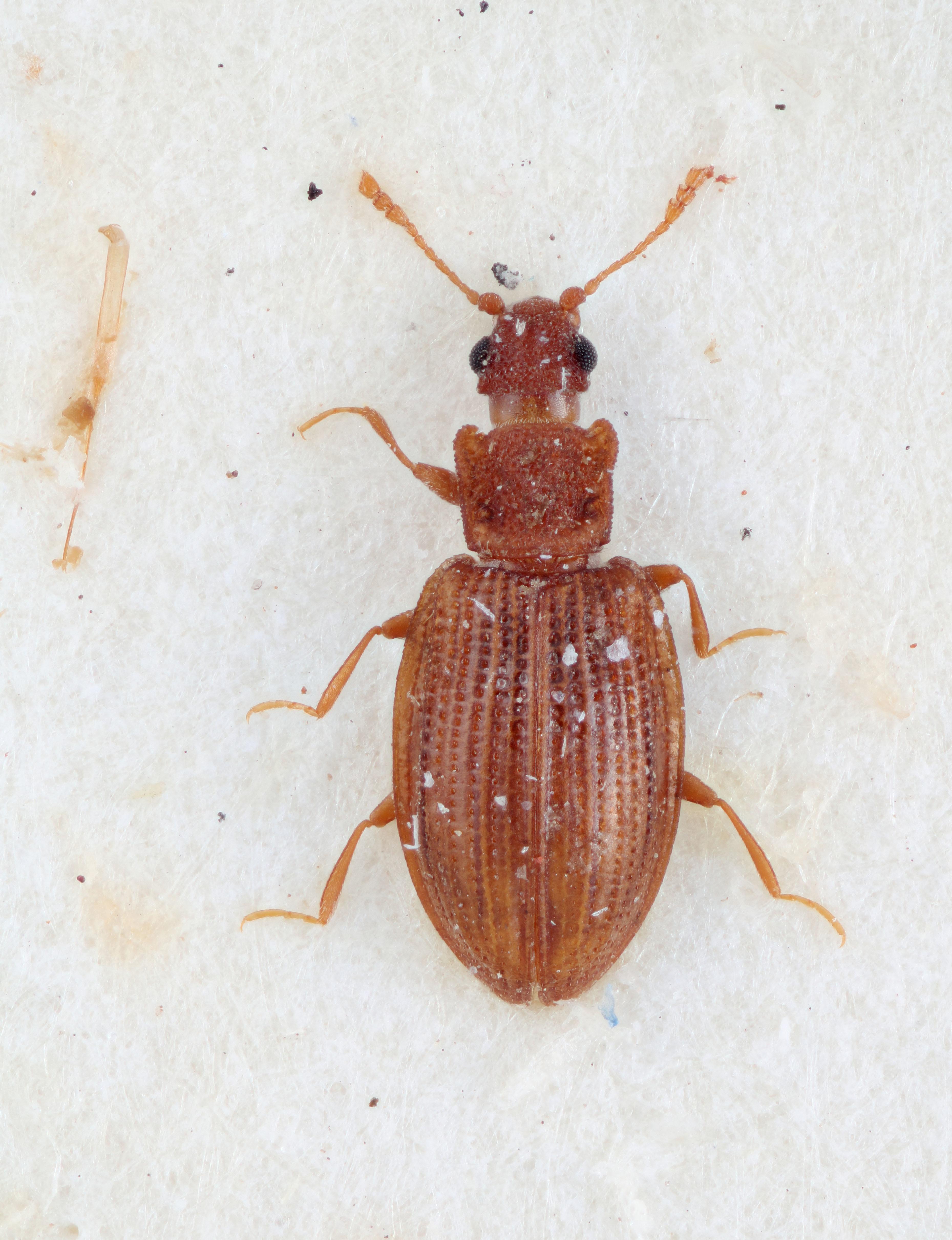 Image of <i>Enicmus nidicola</i>