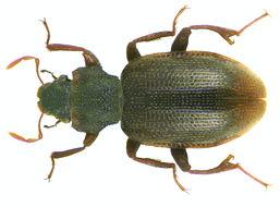 Image of <i>Hydraena hillaryi</i>