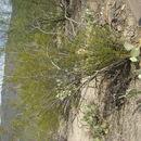 Image of creosote bush