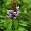 Image of common selfheal