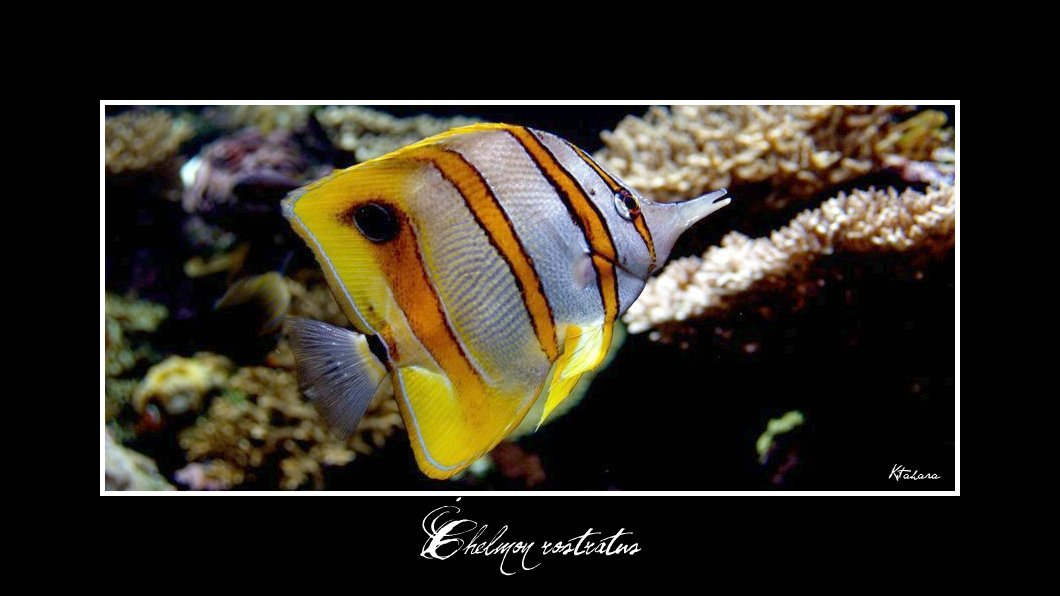 Image of Banded Longsnout Butterflyfish