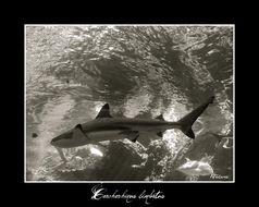 Image of Blacktip Shark