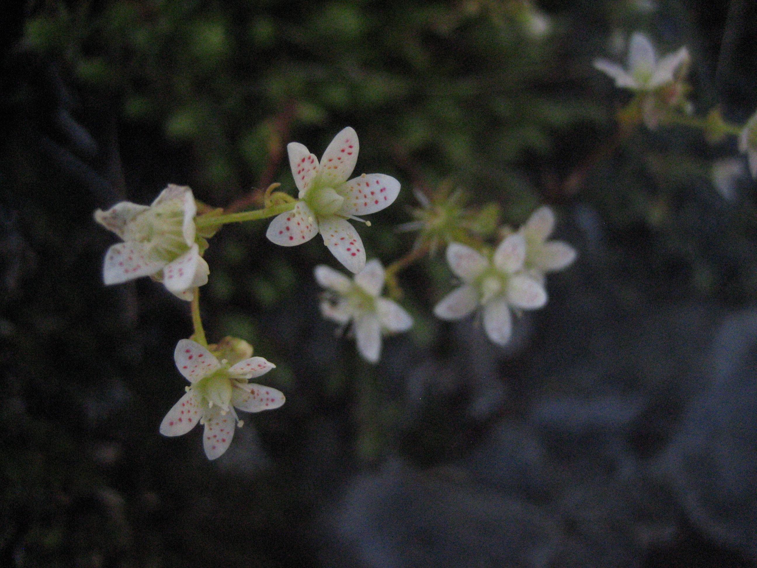 Image of yellowdot saxifrage
