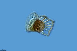 Image of <i>Ornitocercus quadratus</i>