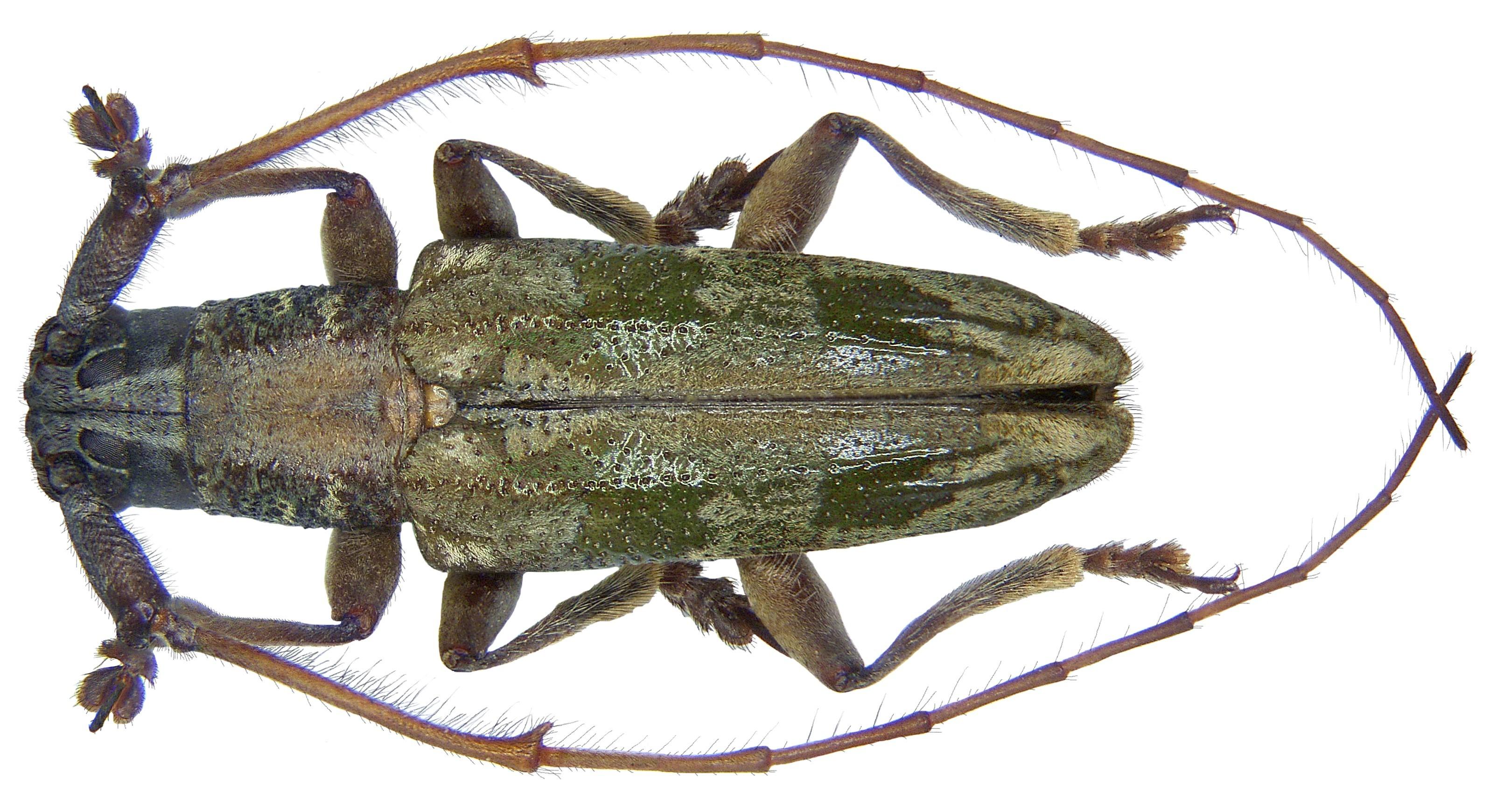 Image of <i>Trigonoptera quadrimaculata</i> Nonfried 1894