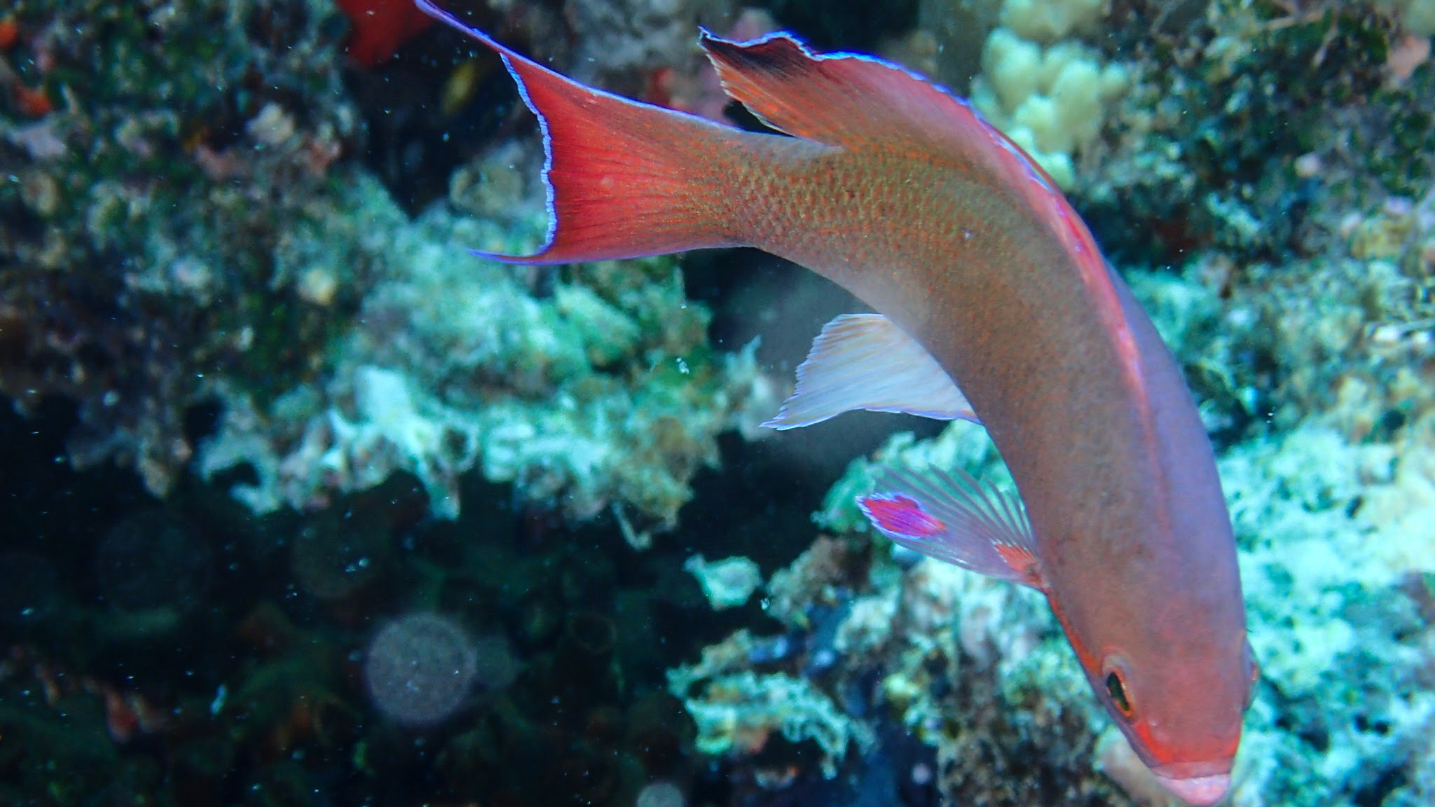 Image of Immaculate Squirrelfish