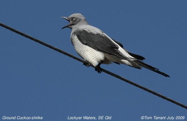 Image of Ground Cuckoo-shrike