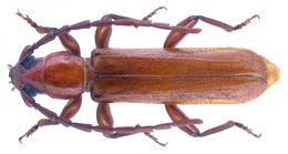 Image of <i>Holorusius perrieri</i> Fairmaire 1898