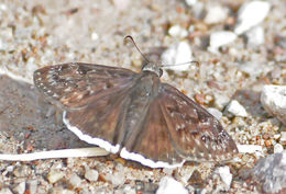 Image of Pacuvius Duskywing