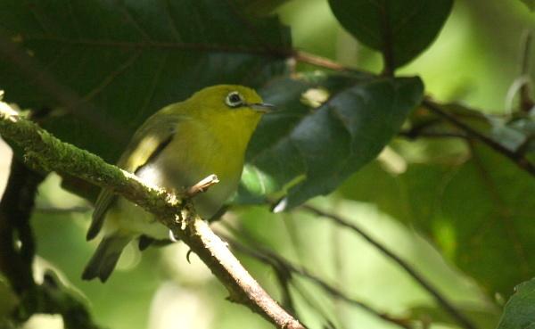 Image of Fiji White-eye