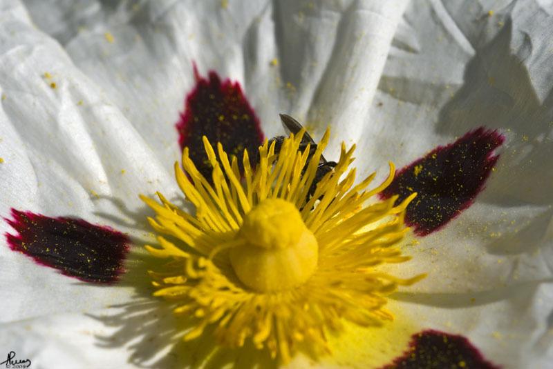 Image of common gum cistus