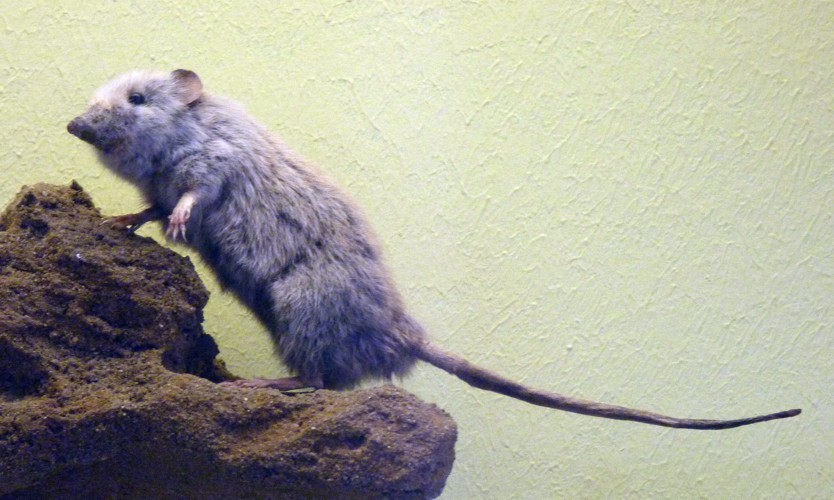 Image of Common Grey Shrew Opossum