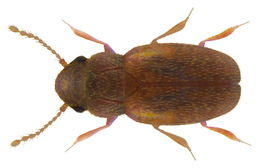 Image of <i>Micridium halidaii</i> (Matthews & A. 1868)