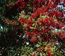 Image of scarlet firethorn