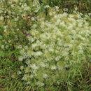 Image of sickleweed