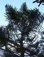 Image of cliff araucaria