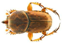 Image of <i>Euoniticellus intermedius</i> (Reiche 1848)
