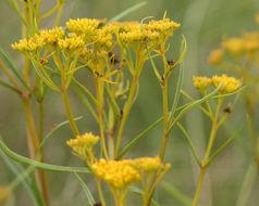 Image of narrowleaf yellowtops