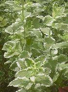 Image of <i>Mentha suaveolens variegata</i>