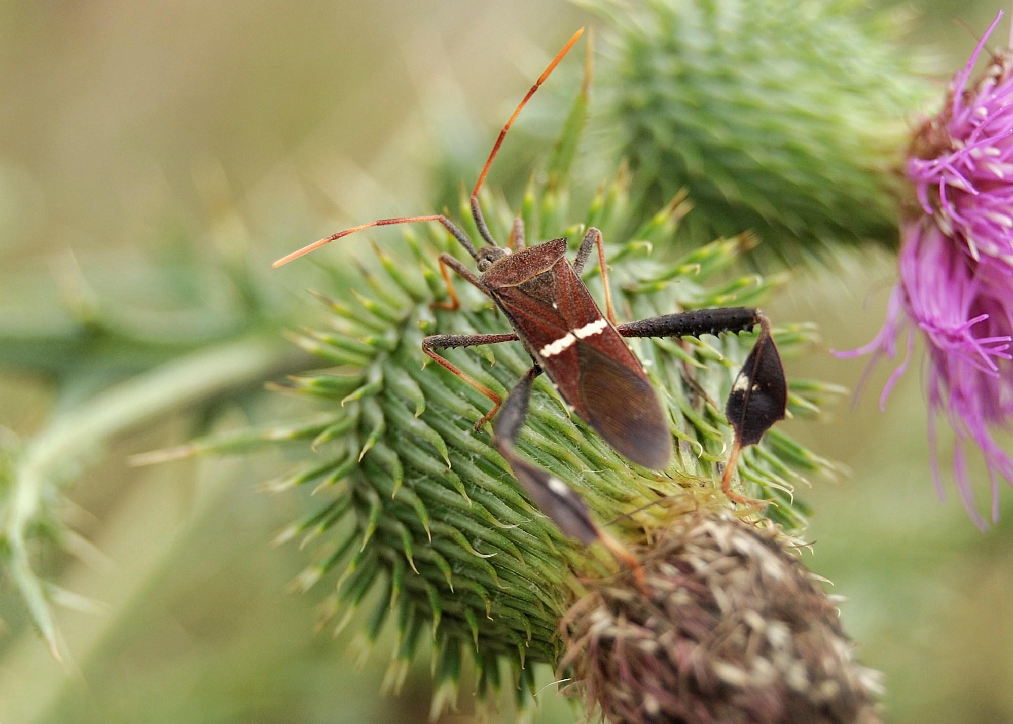 Image of western leaf-footed bug