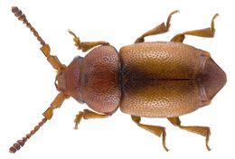 Image of <i>Kateretes pedicularius</i> (Linnaeus 1758) Linnaeus 1758