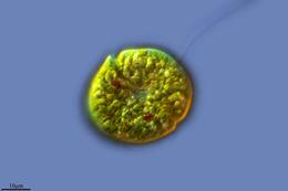 Image of <i>Gymnodinium paradoxum</i> A. J. Schilling 1891