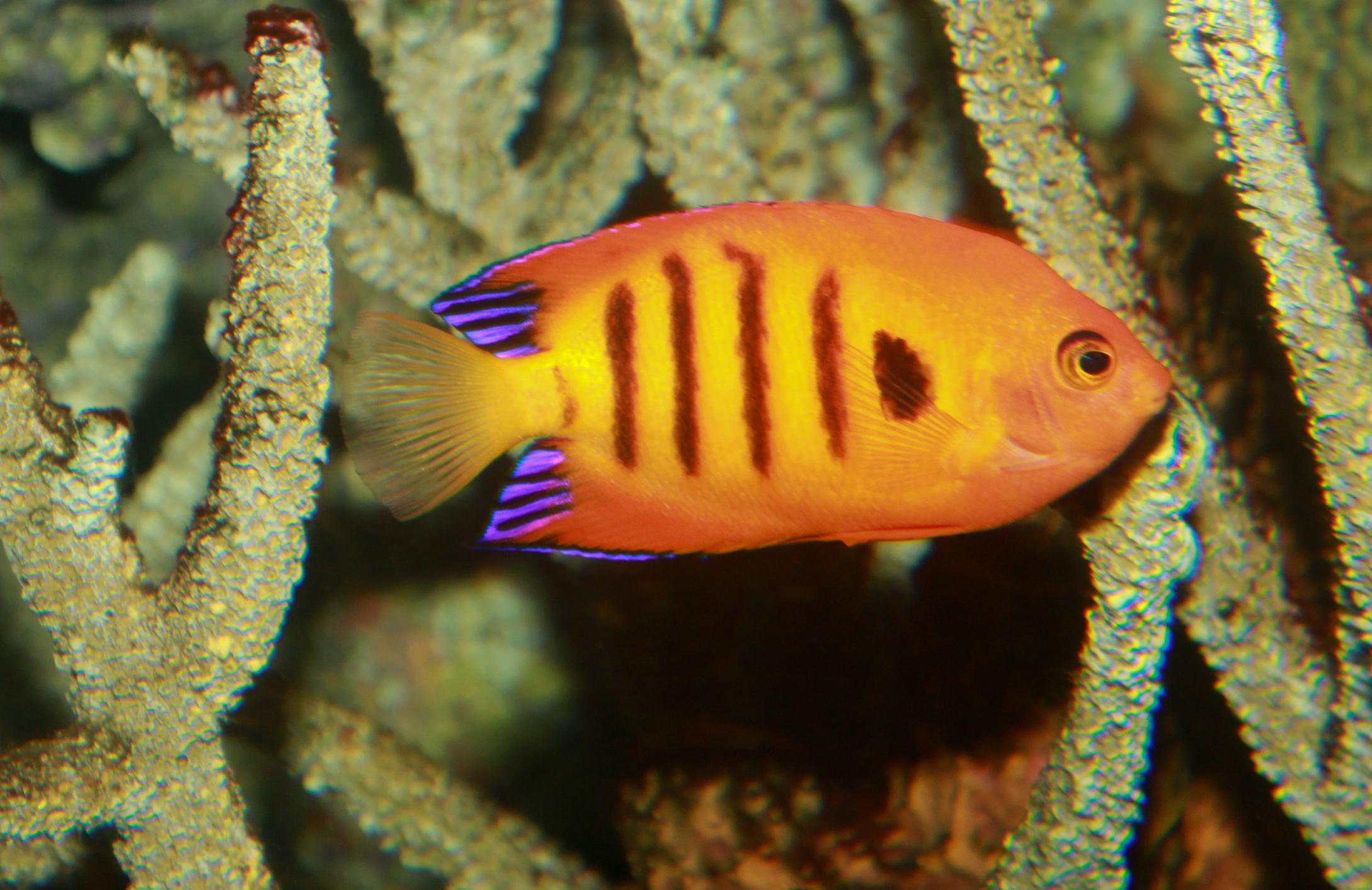Image of <i>Centropyge loricula</i>