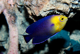 Image of Cherub Pygmy Angelfish