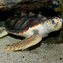 Image of Loggerhead sea turtle