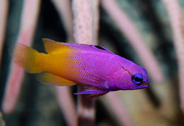 Image of Fairy Basslet
