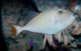Image of Sargassum Triggerfish