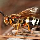 Image of Eastern Cicada Killer