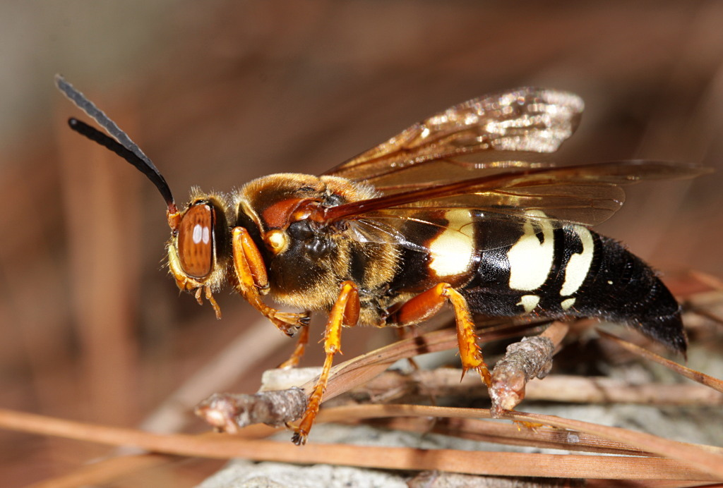 Image of Eastern Cicada Killer