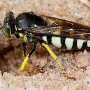Image of <i>Bicyrtes quadrifasciatus</i> (Say 1824)