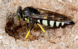 Image of <i>Bicyrtes quadrifasciatus</i> (Say 1824)