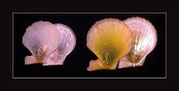 Слика од <i>Laevichlamys squamosa</i> (Gmelin 1791)